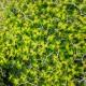 Euphorbia acanthothamnos 2