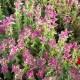 Salvia_viridis